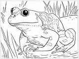 Coloring Frogs Children Simple Grenouille Animaux Animals sketch template
