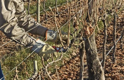 grape vines pruning when to do it and how do i prune ruby seedless grapes home guides sf gate