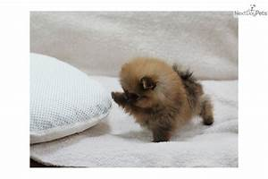 Cute Puppies , 11 Cheerful Teacup Pomeranian Puppy ...