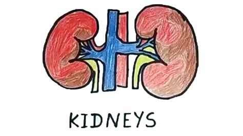 How to draw a kidney | Human Organs Drawing | Easy Step by ...