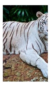 Top 10 Cool Facts about White Tigers - Getinfolist.com