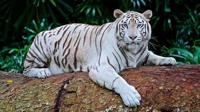 Tiger Facts Habitat Tigre Diet Animals Genetics