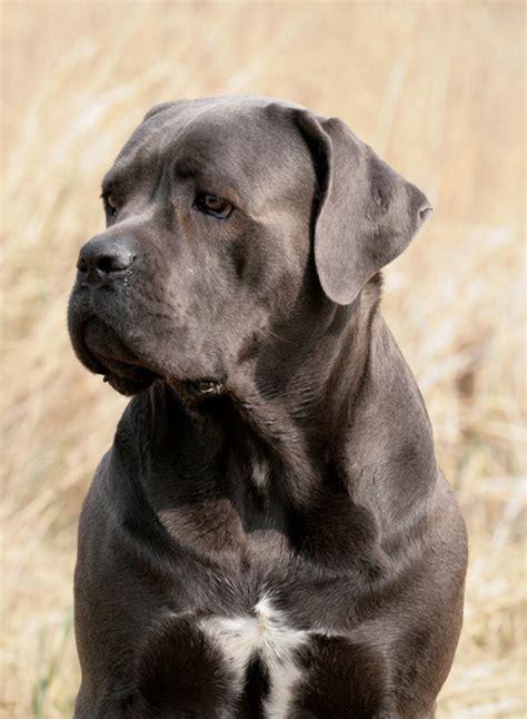 Cane corso italiano  Hund  Wesen, Erziehung und