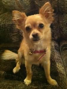 A Pomeranian and Shih Tzu Chihuahua Mix