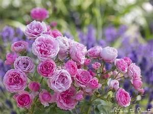 Rosen Und Lavendel : pin von nature to print blumenbilder auf leinwand fiona amann auf gartenwissen kompakt ~ Yasmunasinghe.com Haus und Dekorationen