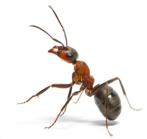 Ant Inspection And Extermination  Smithereen Pest