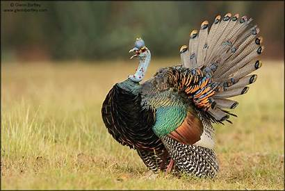 Glennbartley Turkey Ocellated Bird Crazy Looking Guatemala