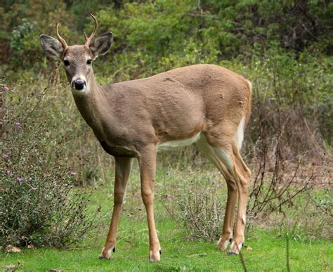 File:White-tailed deer at Greenough Park, Missoula.JPG ...