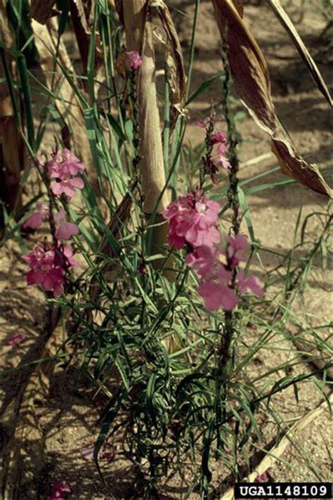 factsheet striga hermonthica purple witchweed