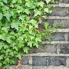 Growing Ivy Thriftyfun