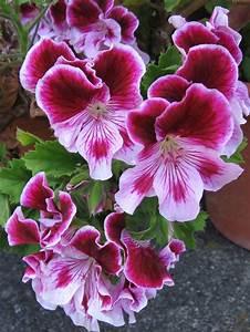 Pink Martha Washington - Geranium Flower/ Plant Ideas