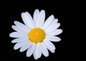Daisy Flower Free Stock Photo - Public Domain Pictures