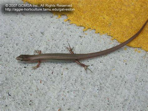 Beneficial Lizards In The Landscape