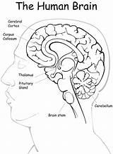 Brain Anatomy Coloring Human Pdf Diagram Worksheet Printable Colouring Seizure Epilepsy Lobes Sheets Template Detailed Sketch Grade Dealing Psychology Skeleton sketch template
