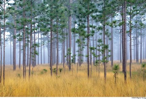 thomasville pine christmas tree 1093 best pinetrees images on paisajes woodland forest and figurative