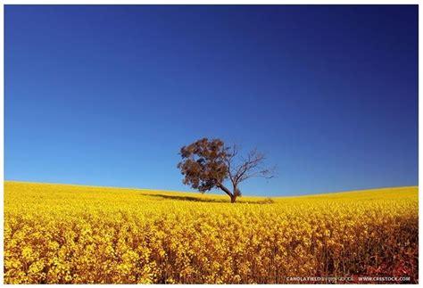 images  canola gold  pinterest  golden