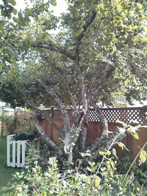 pruning hazel trees 75 best images about hazelnuts on pinterest trees and shrubs the shade and fall plants