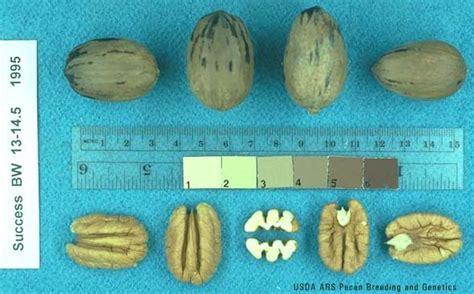 pecan cultivars success