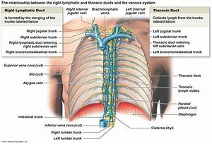 28 Best Images About Chapter 21  The Lymphatic And Immune