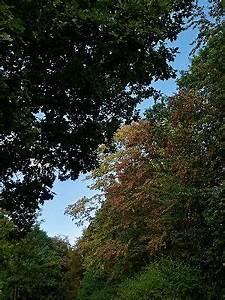 Blätter Werden Braun Und Trocken : warum die buchen schon jetzt braun werden ~ Orissabook.com Haus und Dekorationen