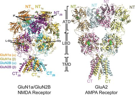 Full Form Of Nmda by Crystal Structure Of A Heterotetrameric Nmda Receptor Ion