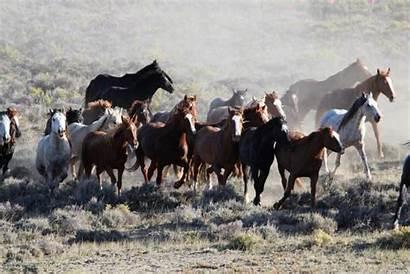 Wild Horses Herd Blm Horse West Herds