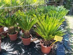 Mimosa Résistant Au Froid : plante r sistant au froid pivoine etc ~ Melissatoandfro.com Idées de Décoration