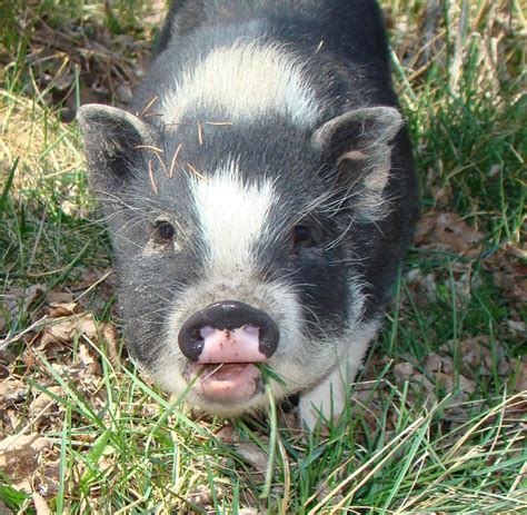 pot belly pigs pot bellied pig page