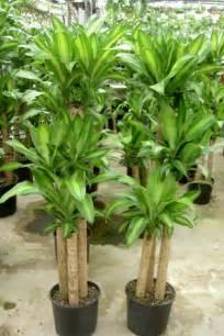 Tropical House Plant Corn