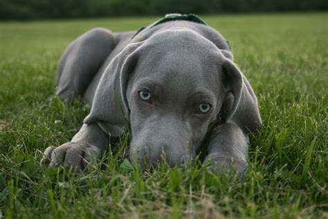 dogs that dont shed weimaraner weimaraner breed guide learn about the weimaraner