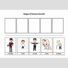 Stages Of Human Growth Worksheet  Free Esl Printable Worksheets Made By Teachers