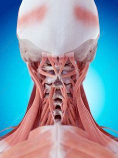 These flat muscles are located on the posterolateral aspect of the neck and the posterior upper thorax, overlying the deep muscles of the neck. Diagram Back Muscles Human Muscle Diagram Labeled The Back Side   Humananatomybody   Undead ...