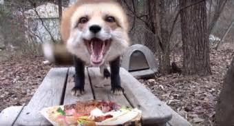ronron the fox adorably enjoys his thanksgiving meal
