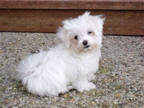 File Ee  Maltese Ee    Ee  Puppy Ee   Jpg Wikimedia Commons