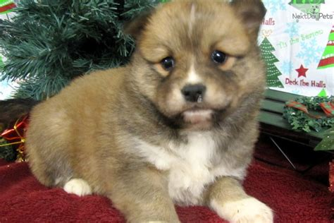 Mixed/other Puppy For Sale Near Springfield, Missouri