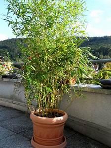 Bambus Sichtschutz Pflanzen : pin von daniela jelen auf garten bambus sichtschutz bambus pflanzen und sichtschutz terrasse ~ Yasmunasinghe.com Haus und Dekorationen