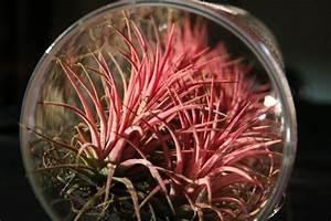 Conosci le 'tillandsie': le piante che vivono d'aria? Varese Gardening