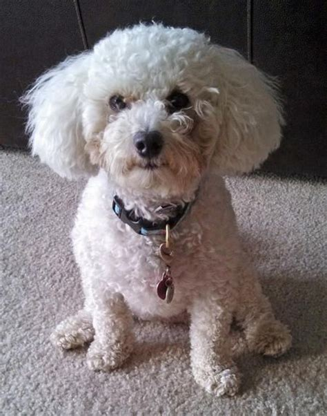 Madeline The Bichon Frise Mix Poodle Mixed Breeds