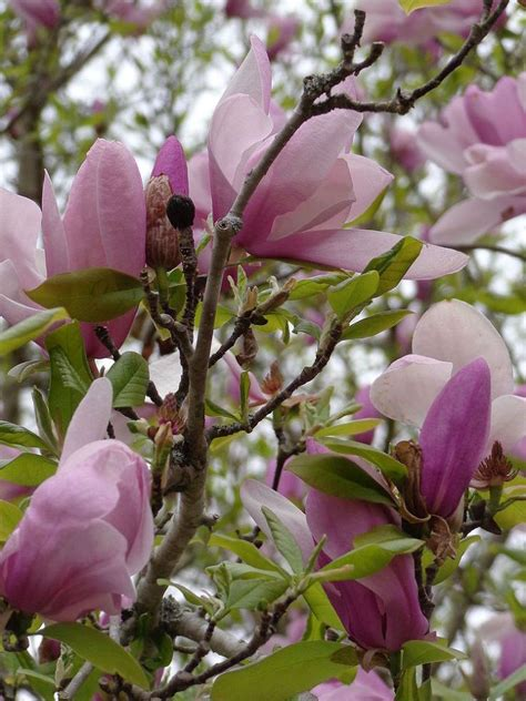 The tree produces a round, dark purple fruit that matures in late summer. Pink Flowering Tree | Pink flowering trees, Flowering ...