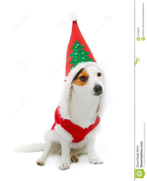 Terrier Dressed As Santa Claus Stock Photo Russel Wearing Santa Claus Dress Royalty Free