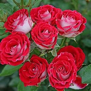 Rosen Kaufen Günstig : rot rosen und weitere pflanzen g nstig online kaufen bei m bel garten ~ Markanthonyermac.com Haus und Dekorationen