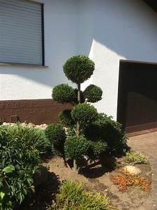 Zypresse Wird Braun : lebensbaum schneiden s ulen lebensbaum 39 columna 39 ~ Lizthompson.info Haus und Dekorationen