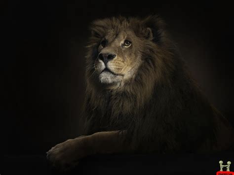 Amazing Lion Wallpapers Hd