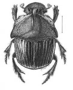Beetles Insects Drawings