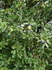 Blackthorn Hedge Plants For Sale Online Direct From Our ...