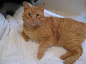 orange tiger cat pics for gt orange tiger cat breed