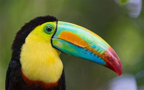 27 Toucan Bird Photos,hd Wallpapers,images,pictures 1195