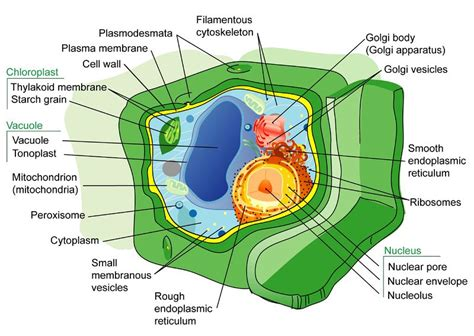 plant cell structures read biology ck  foundation