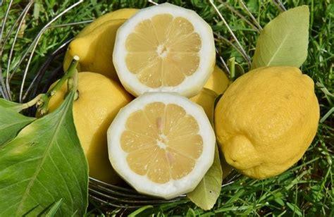 limoni coltivazione in vaso i limoni e la loro coltivazione cure naturali it