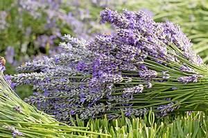 Lavendel Schneiden Im Herbst : gartentipps im juli ziergarten gartenzauber ~ Lizthompson.info Haus und Dekorationen